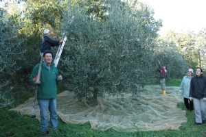 It's time to olives harvest!