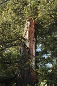 redwood injured by lightning