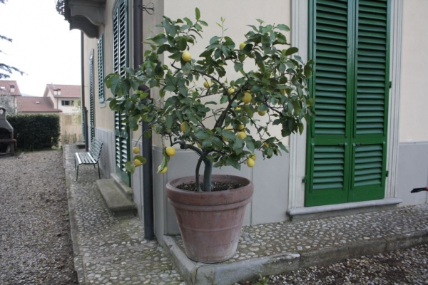 the spring has arrived, lemon trees come back !