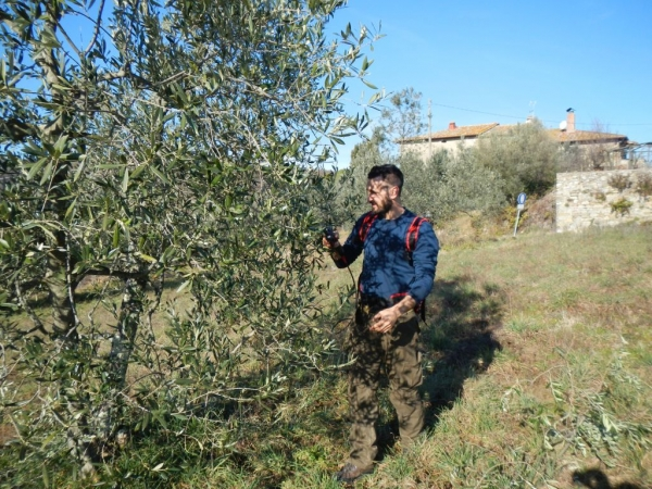 pruning and fertilizing olive trees !